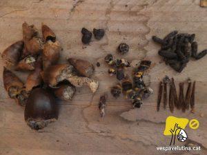 Restes d'activitat de ratolí de bosc dins un niu de Vespa velutina, refugi de petits rosegadors.