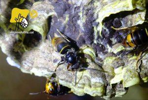 Vespa velutina i DWV virus de les ales deformades