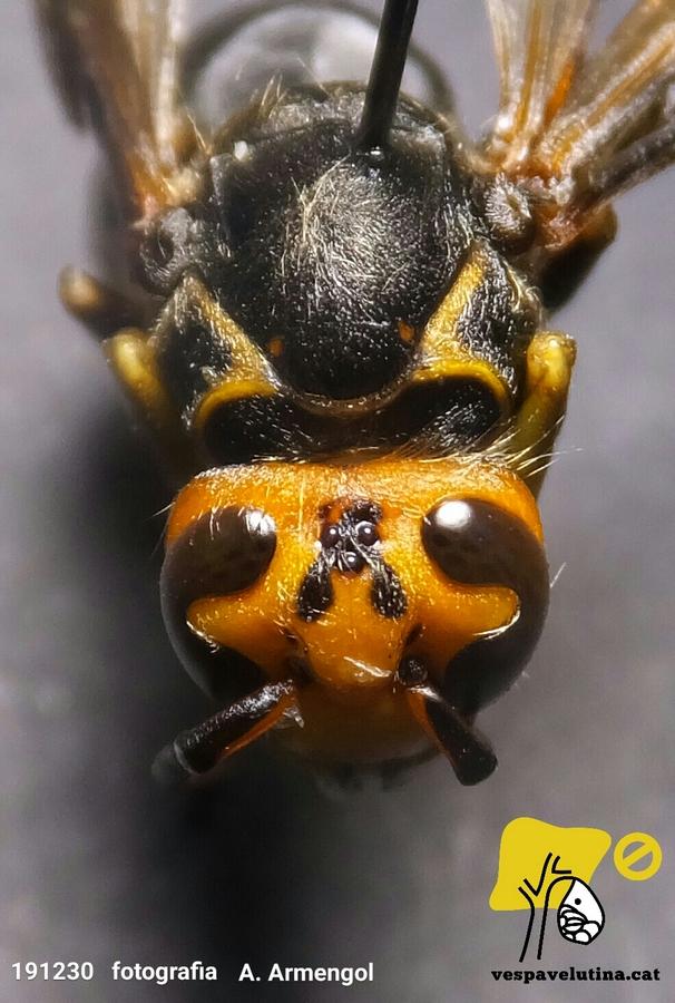 Patró de color anòmal en vespa velutina nigrithorax, anomalía en color de Vespa velutina nigrithorax