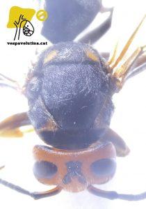Patró de color anòmal en Vespa velutina nigrithorax