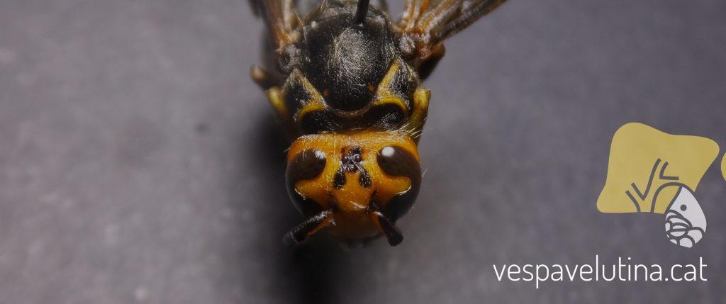 Patró de color anòmal en Vespa velutina nigrithorax. Antoni Armengol
